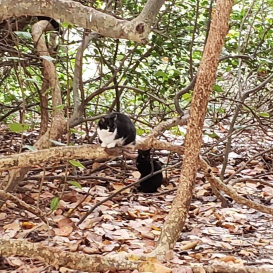 Wild cats live in the dunes at Haulover