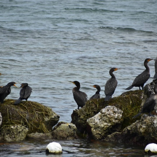 Cormorant Hang Out